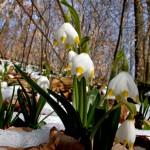 Märzenbecher: Blütenwunder am Schweineberg