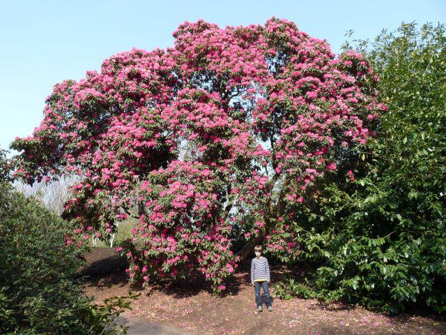 Ein Riesen-Rhododendron!