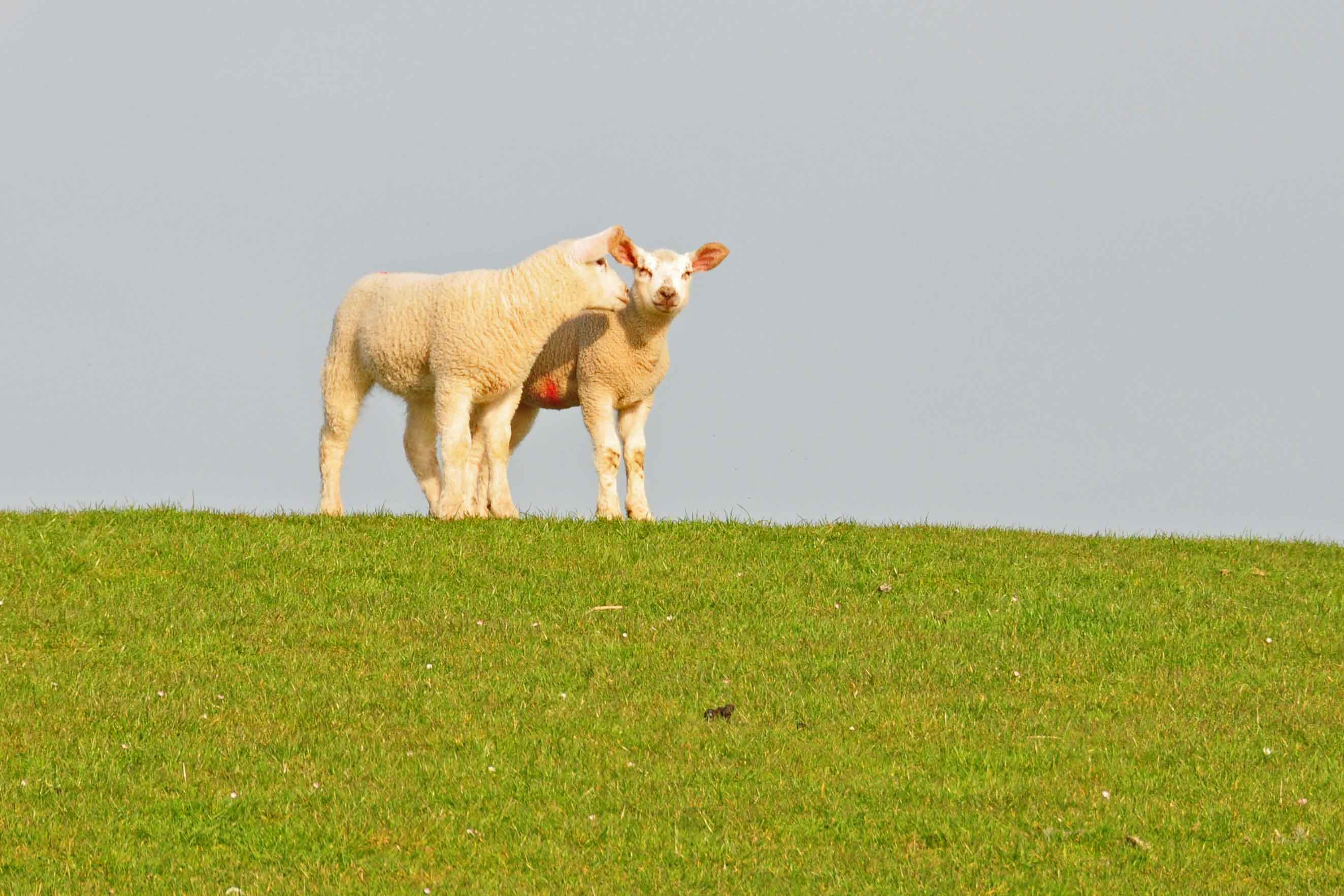 zwei-Schafe-DSC_5474