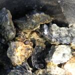Austernsuche auf Texel