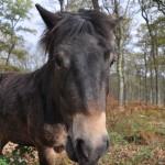 Hutewald im Solling: Mit Wildpferden im Wald