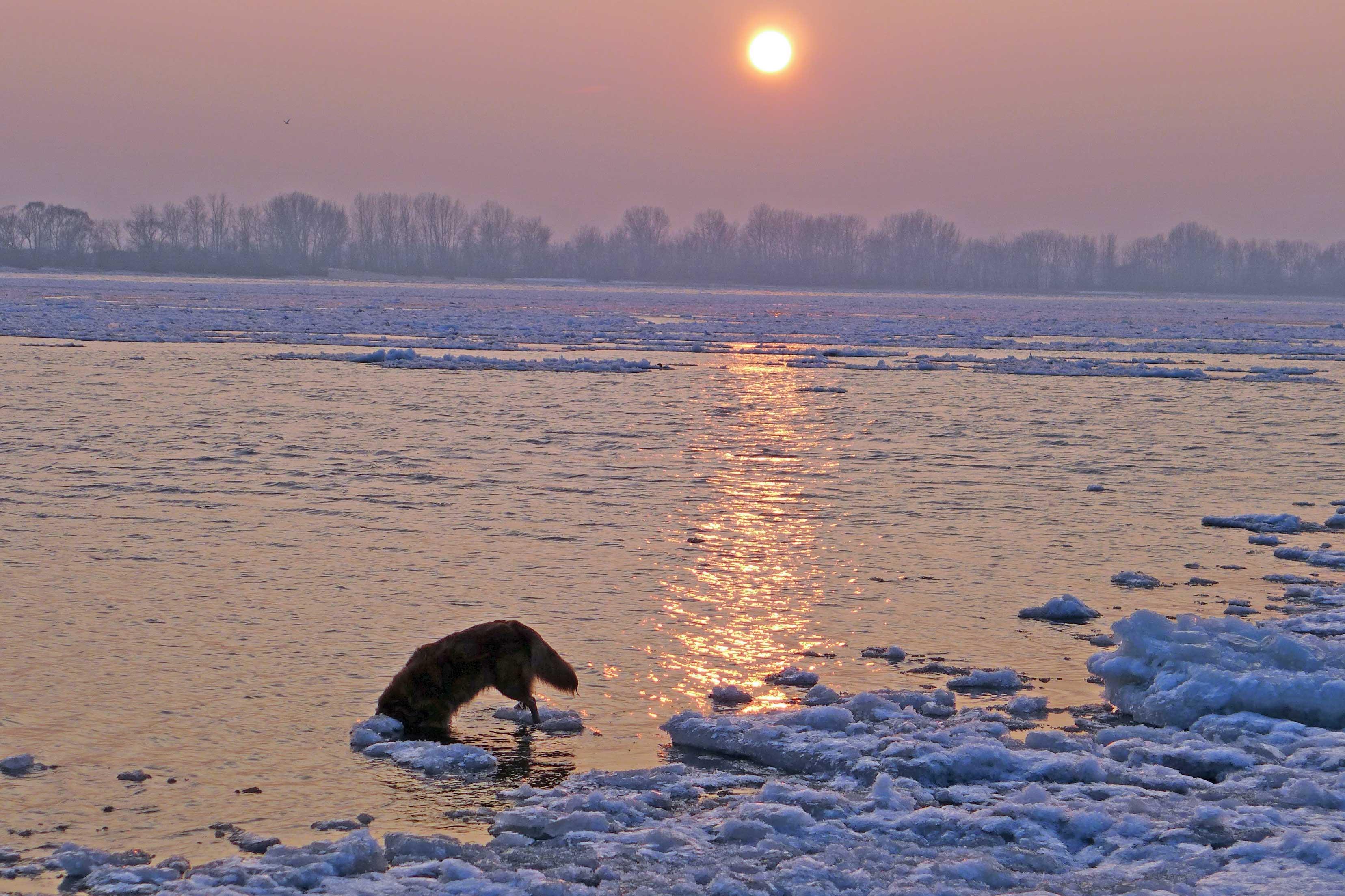 Hund sucht nach Steinen in der Elbe, hat aber pech, weil der Strom voller Eis ist