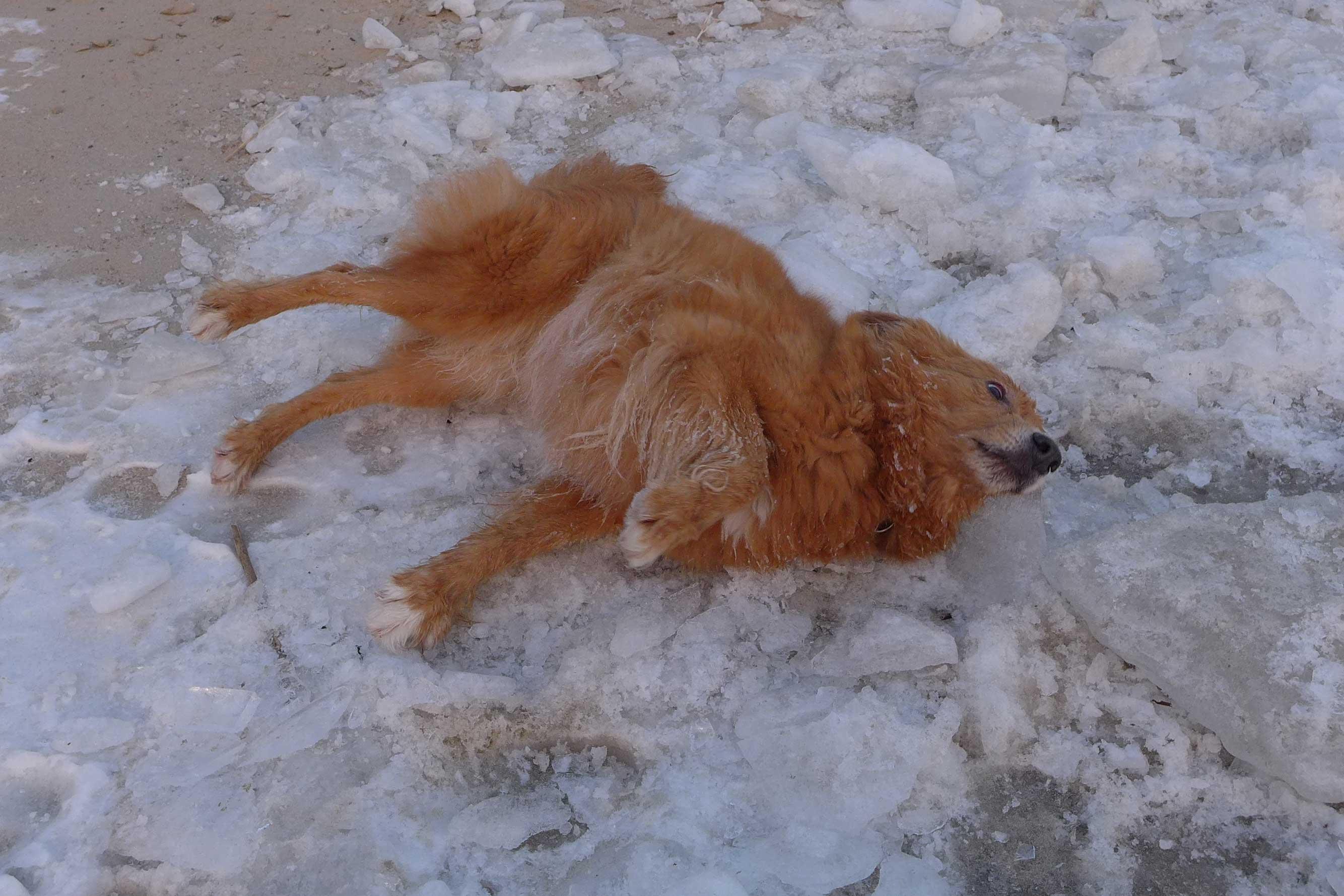 Hund wälzt sich im Schnee