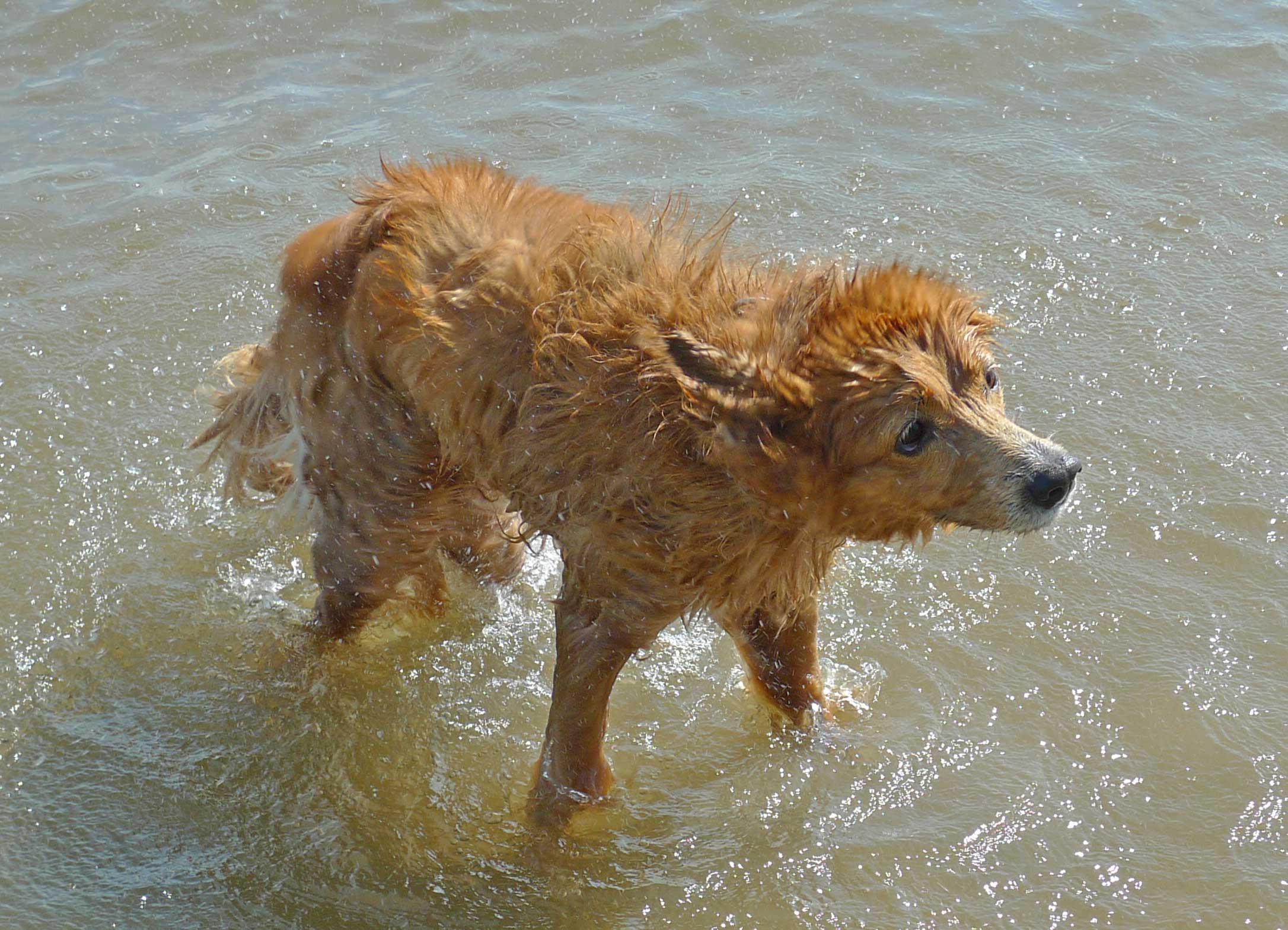 Hund schüttelst sich im Wasser