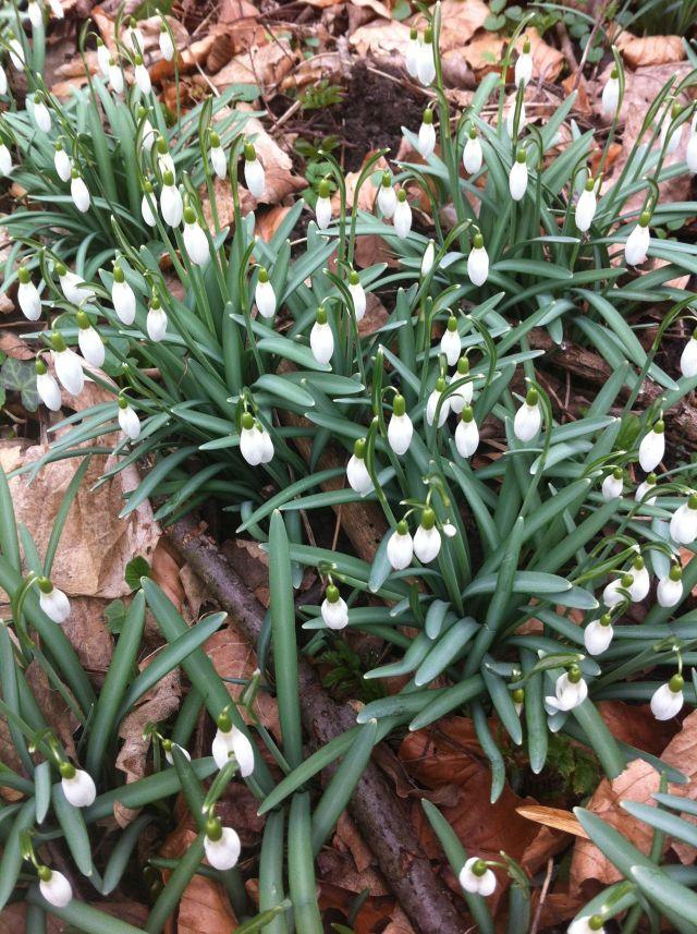 Frühlingsspaziergang in den Sieben Bergen, leider ohne sieben Zwerge und Schneewittchen, dafür mit unzähligen Schneeglöckchen...
