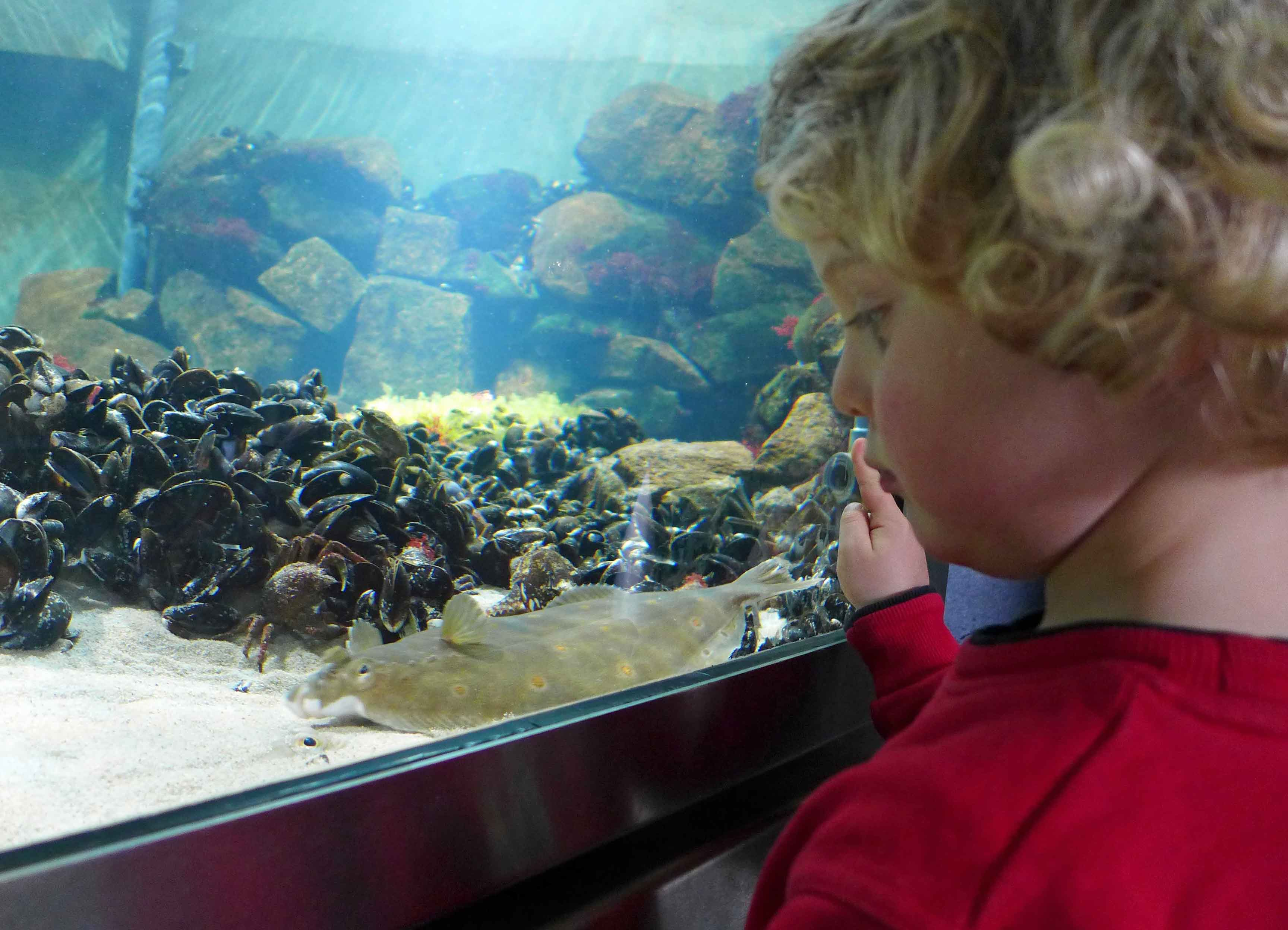 Kleinkind vor einem Aquarium, in dem Schollen im Sand eingebuddelt sind.e