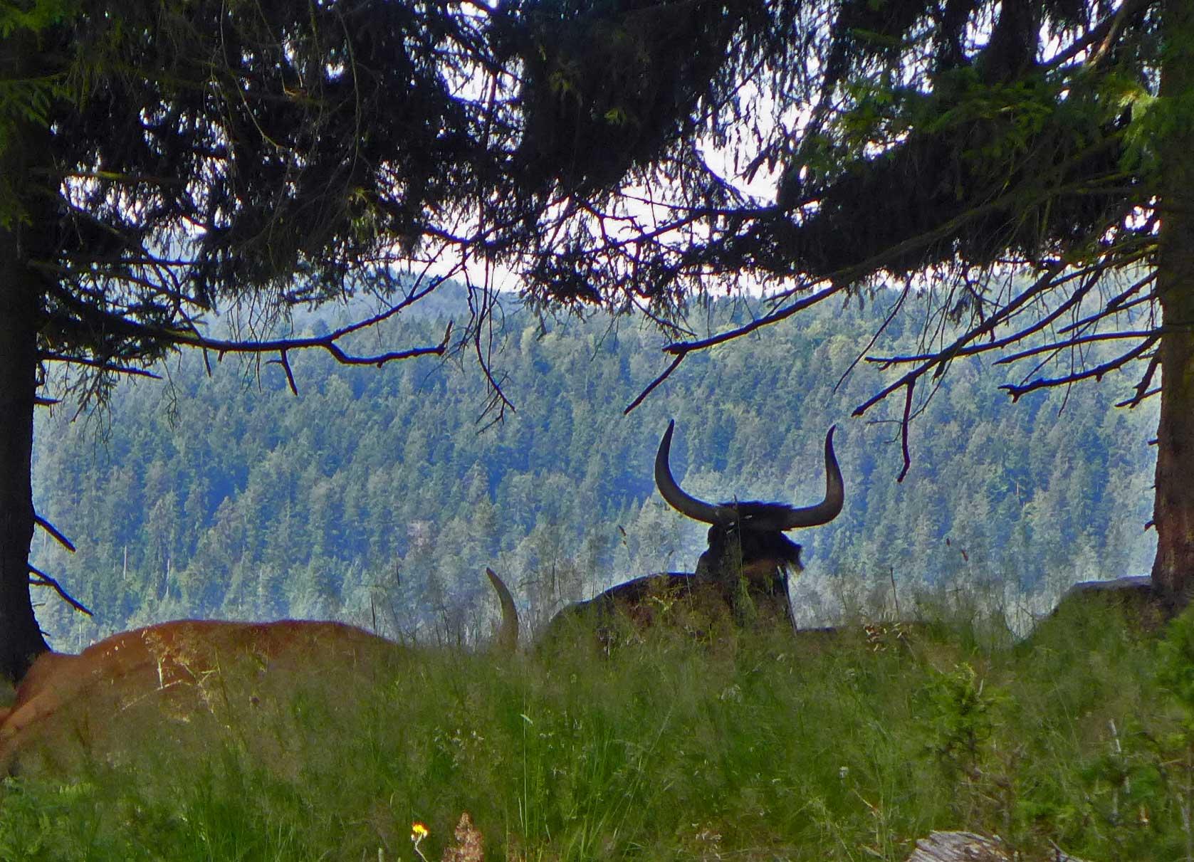 Urrinder im Freigehege am haus zur Wildnis im Nationalpark Bayerischer Wald