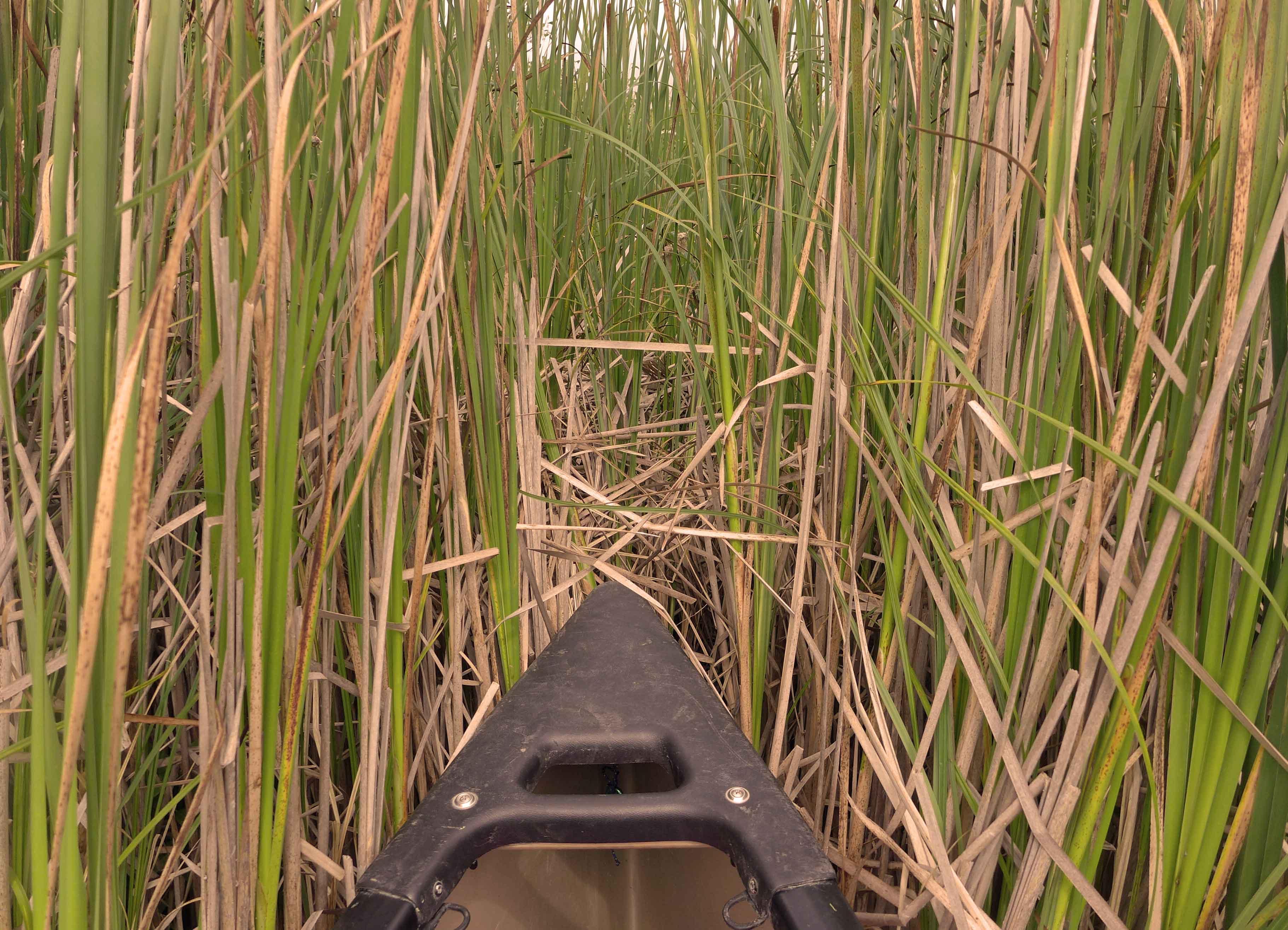 Bug vom Kanu steckt im Schilf