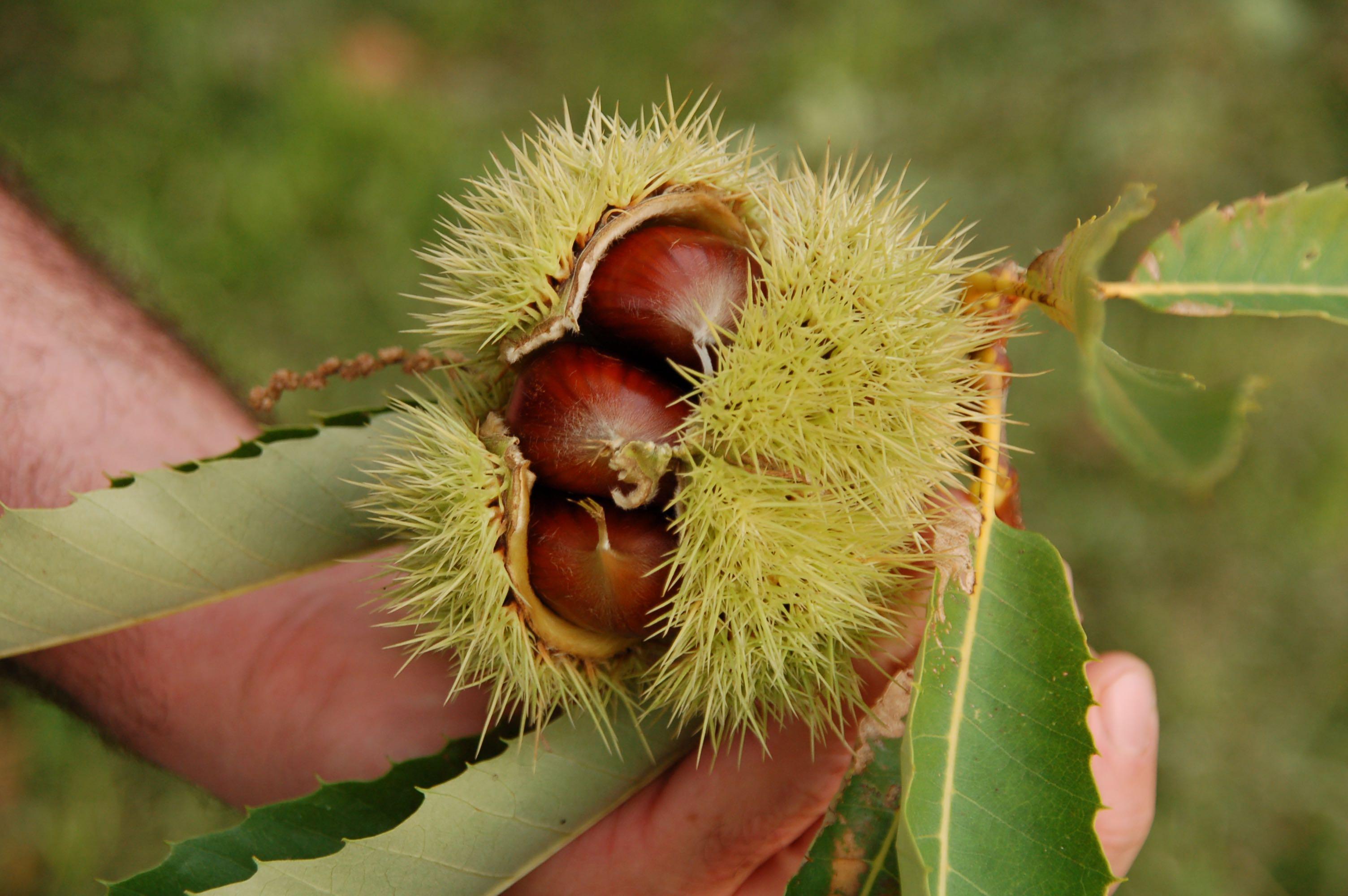 Maronen:Esskastanien frisch vom Baum am Gardasee