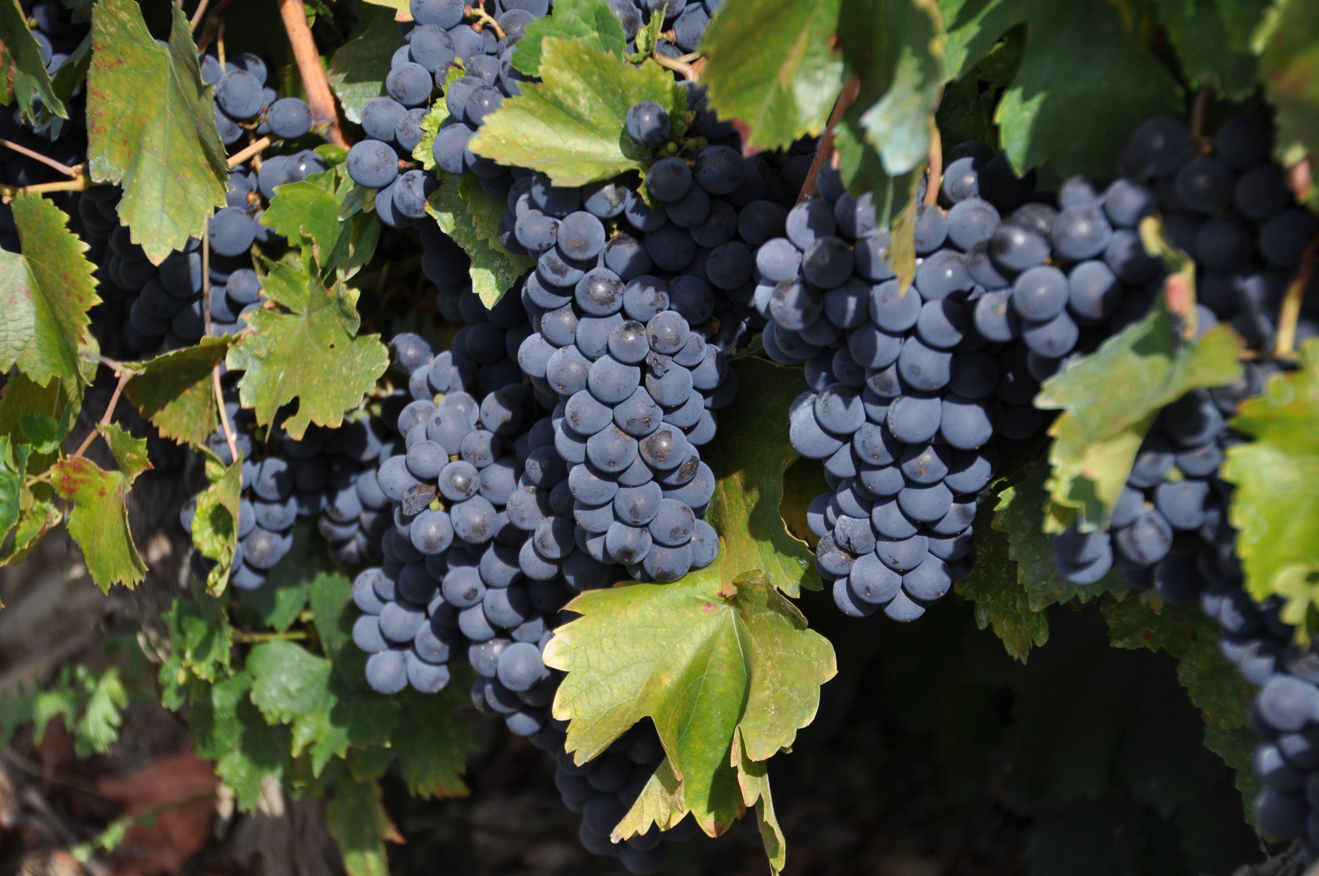Weintrauben Asturien