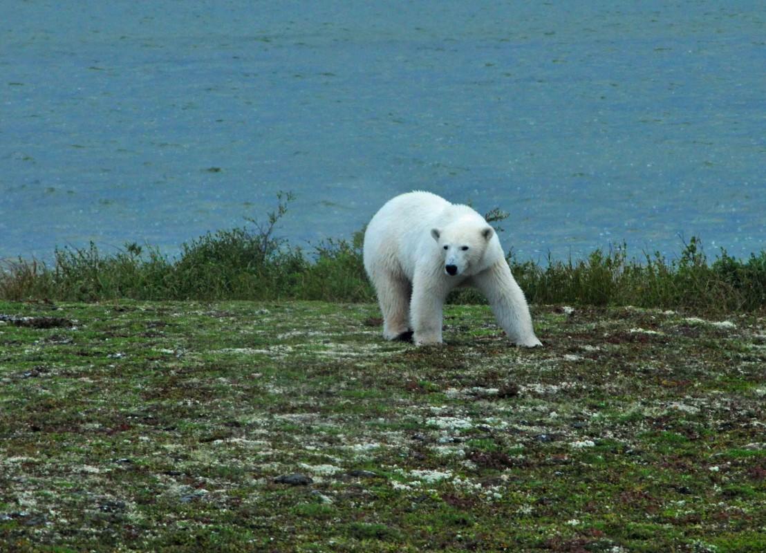 Eisbär in Churchill, Manitoba