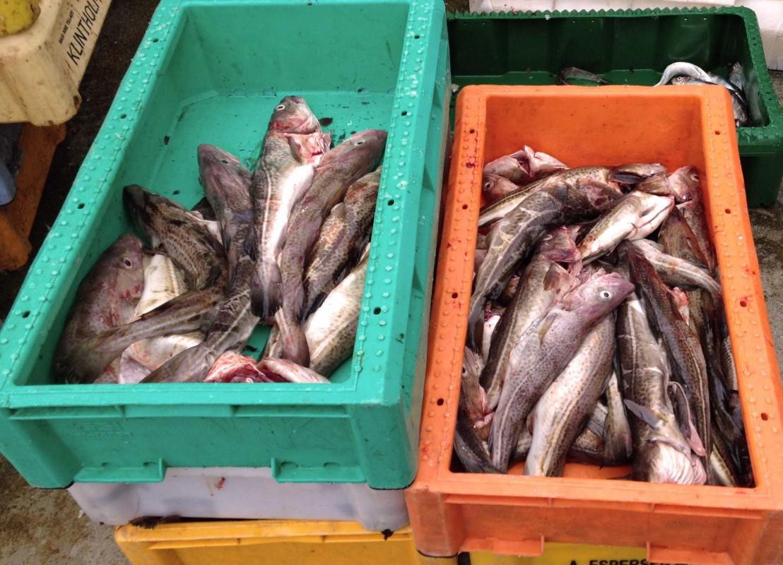 Ausgenommene Dorsche liegen in Kisten im Kappelner Hafen