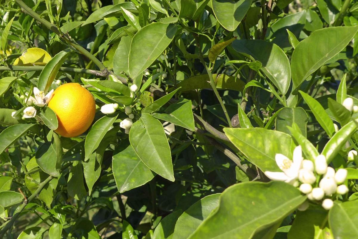 Blühender Zitronenbaum