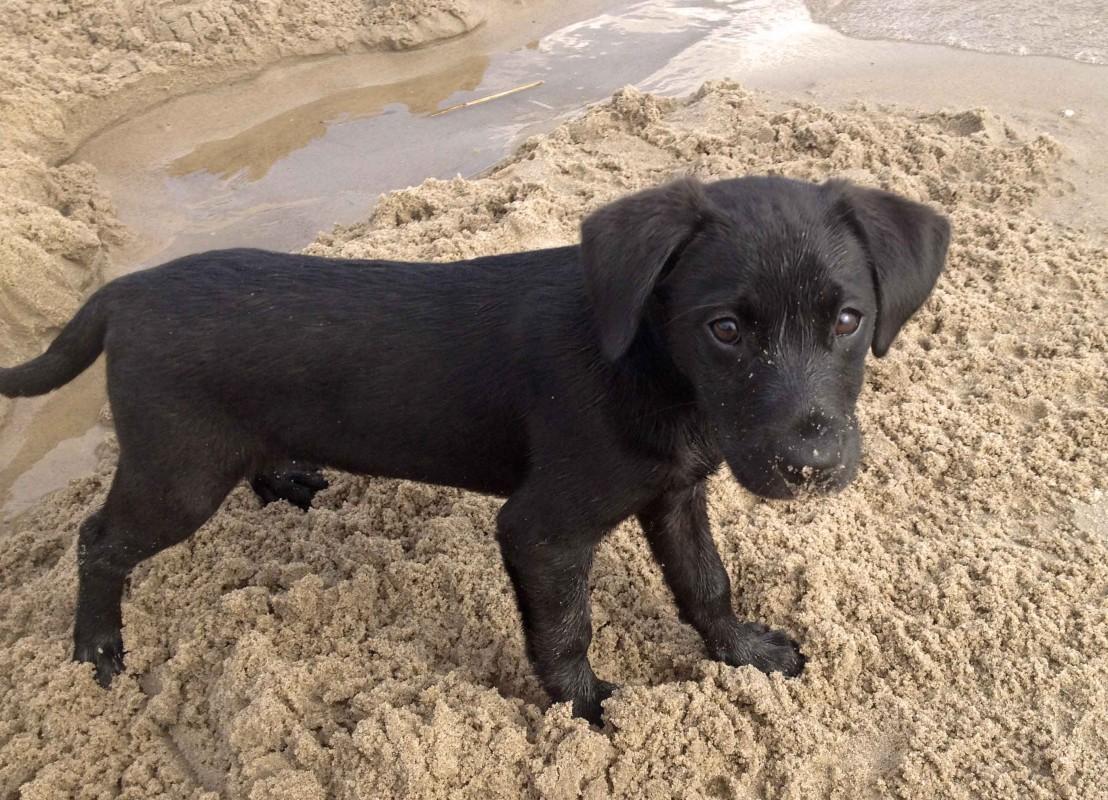 Ein Labradorwelpe buddelt am Sand an der Elbe