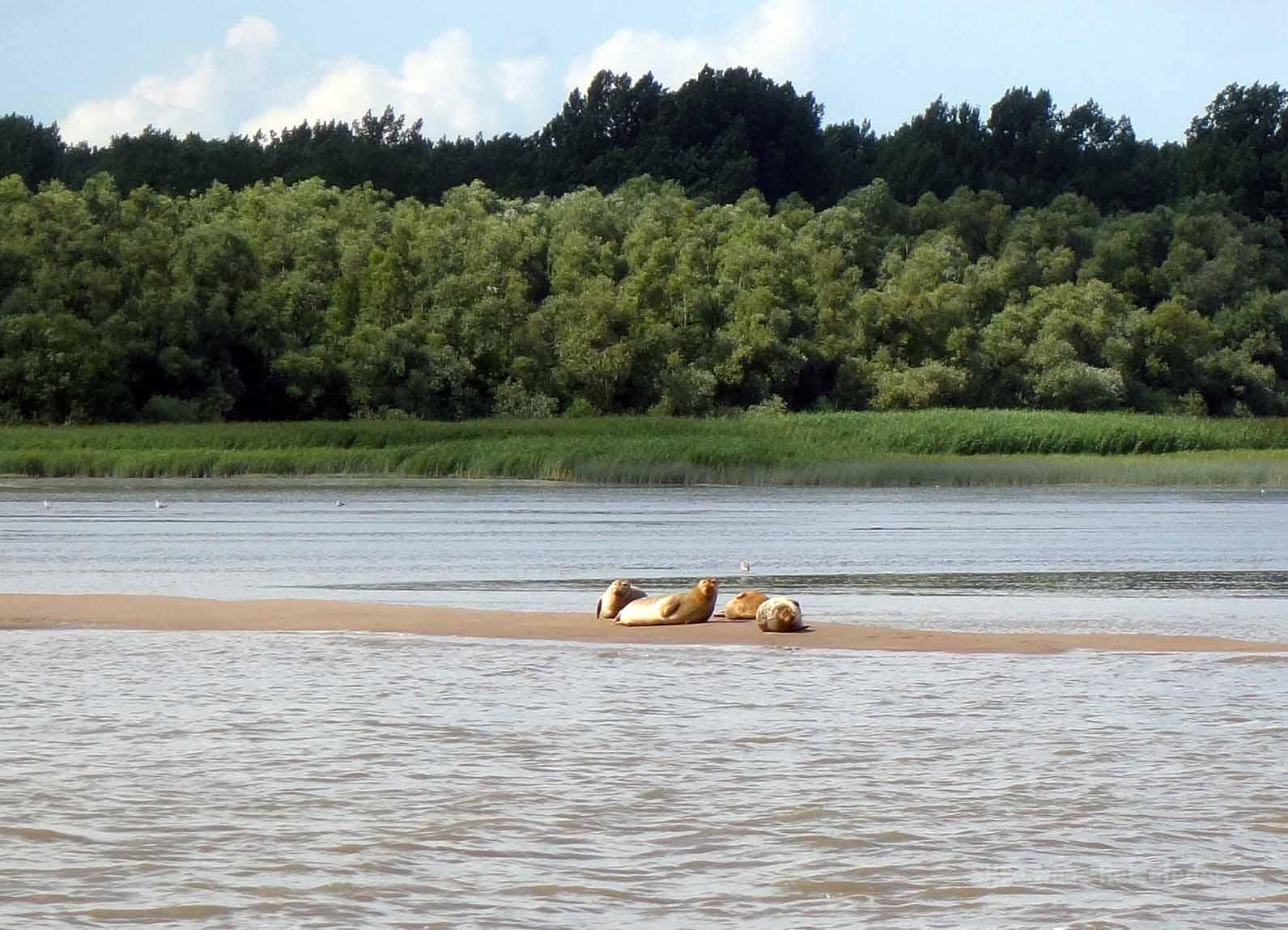 Vier Robben sonnen sich auf einer Sandbank in der Elbe bei Hamburg