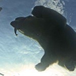 Winnipeg: Eisbären gegen Sommerhitze