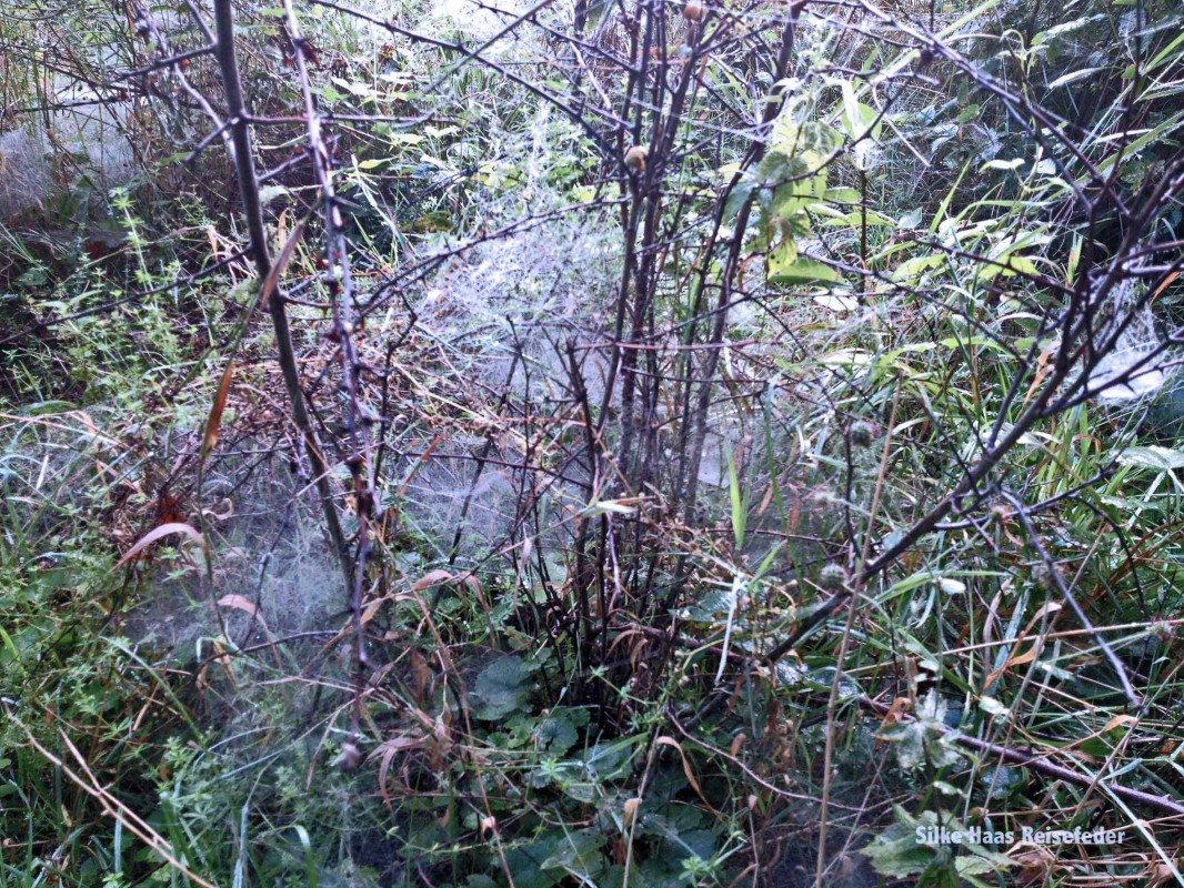 Ein Strauch ist von Spinnweben umwickelt