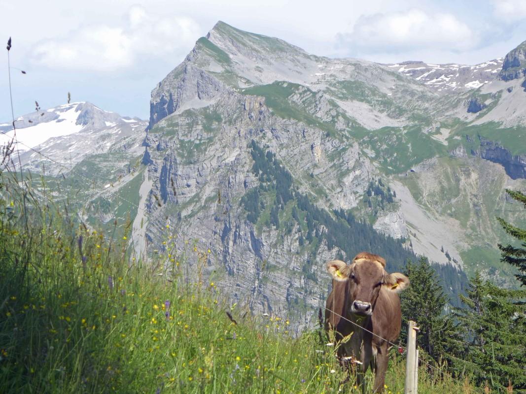 Eine braune Kuh steht auf einer Almweide und guckt süß