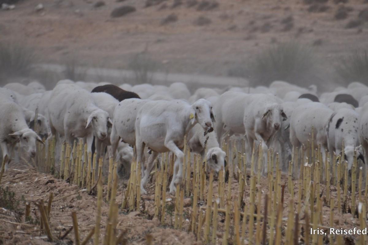 Schafe auf der Wollroute bei Cuenca