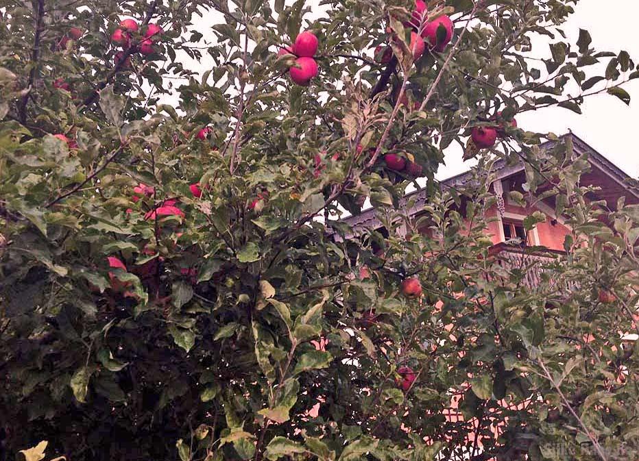 Rote Äpfel am Baum vor dem Moiierhof