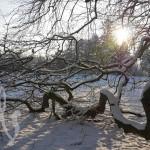 Bizarre Beauties: Schaumburgs Süntelbuchen im Schnee