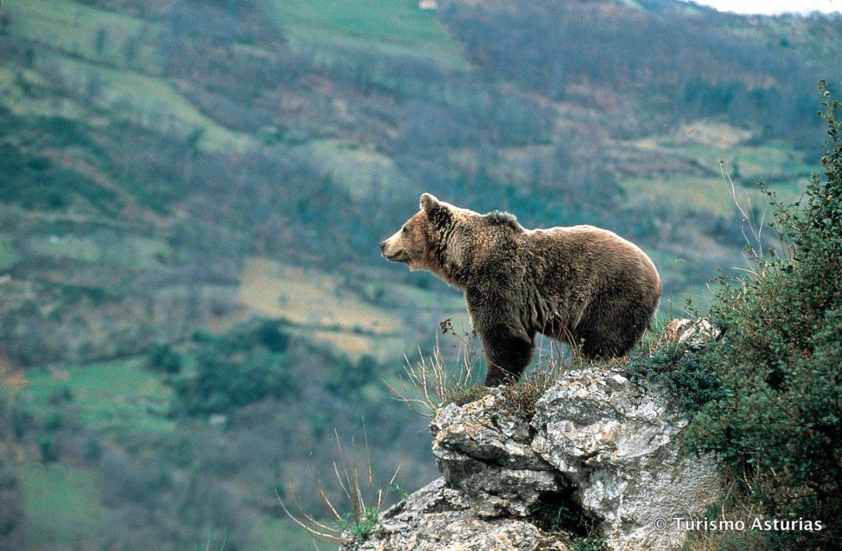 Bär_Asturien-001