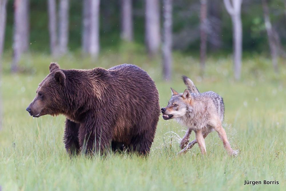 Finnland Bär und Wolf