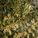 Rezept von Oma Jola: Olivenblätter-Eistee