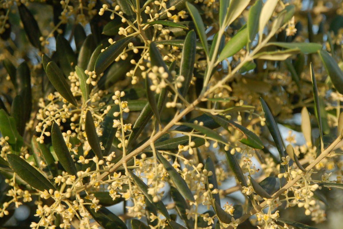 Olivenblüten