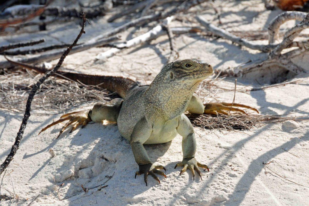 Ein Leguan auf einer unbewohnten Insel