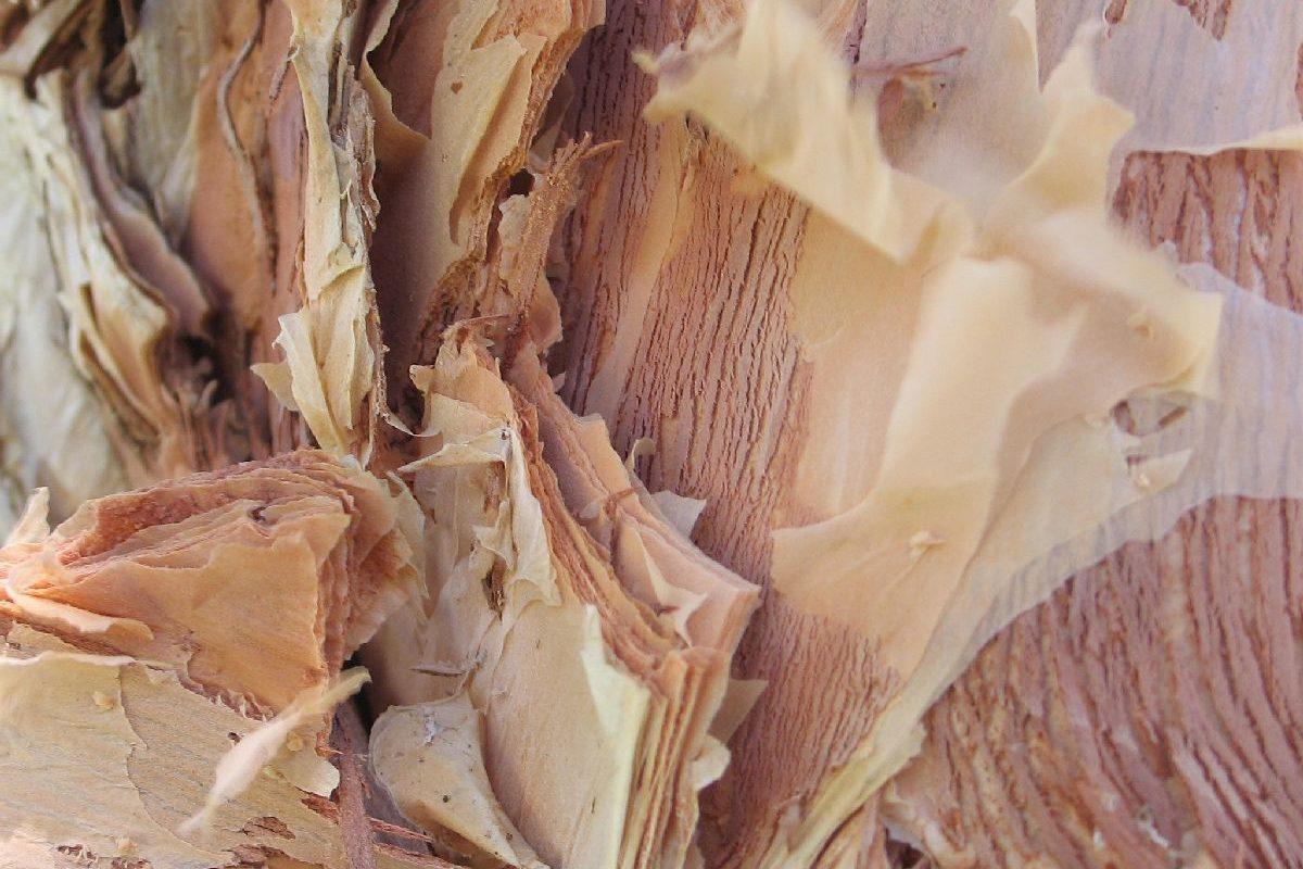 Rinde des Papierborkenbaums