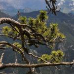 Schwarzkiefer: Die Baumschönheit der Pyrenäen