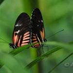 Die erste Weltreisende – Sibylla Merian und ihre Schmetterlinge