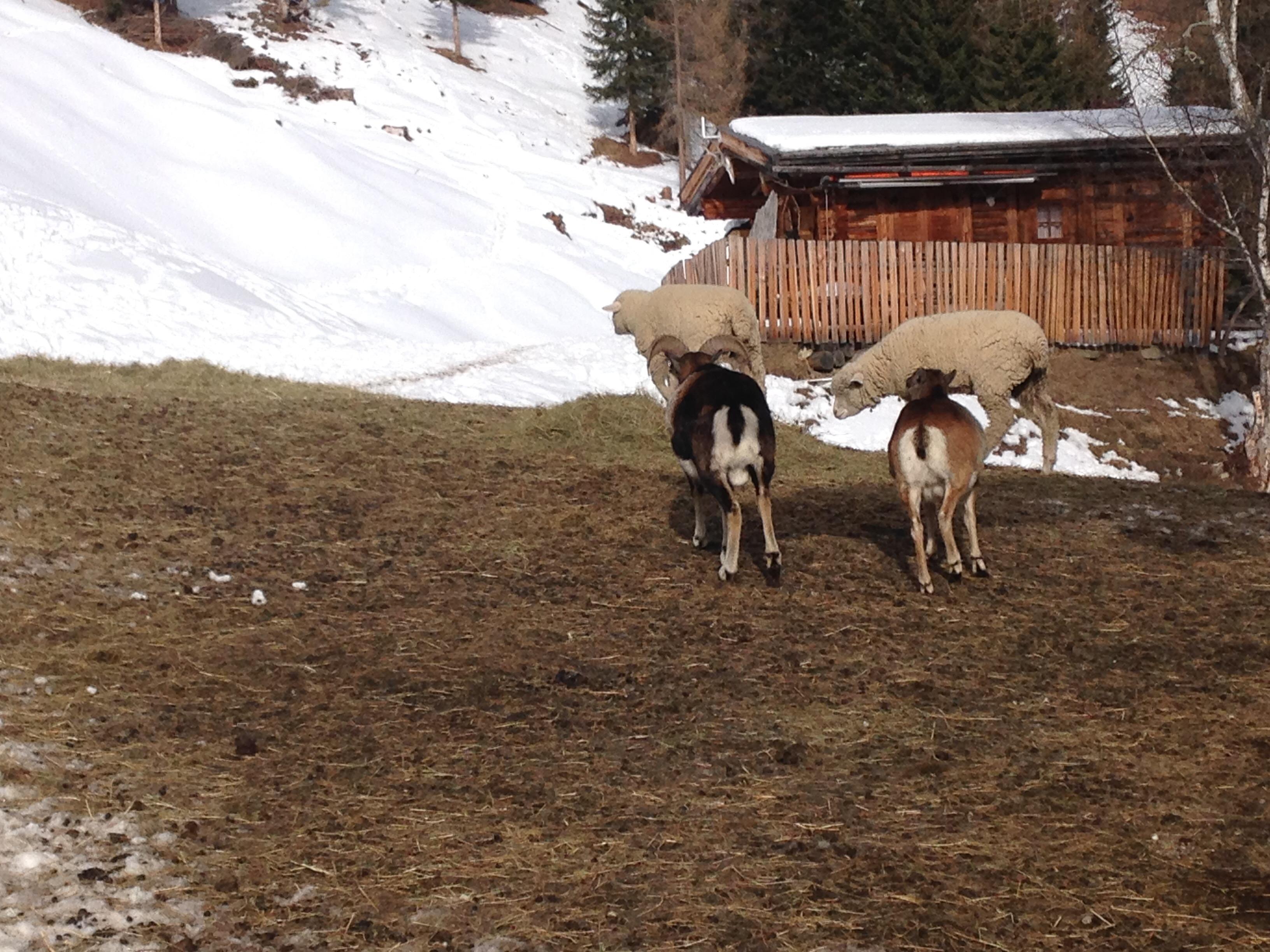 Mufflons und Schafe bei der Wildtierfütterung im Tiroler Oberland
