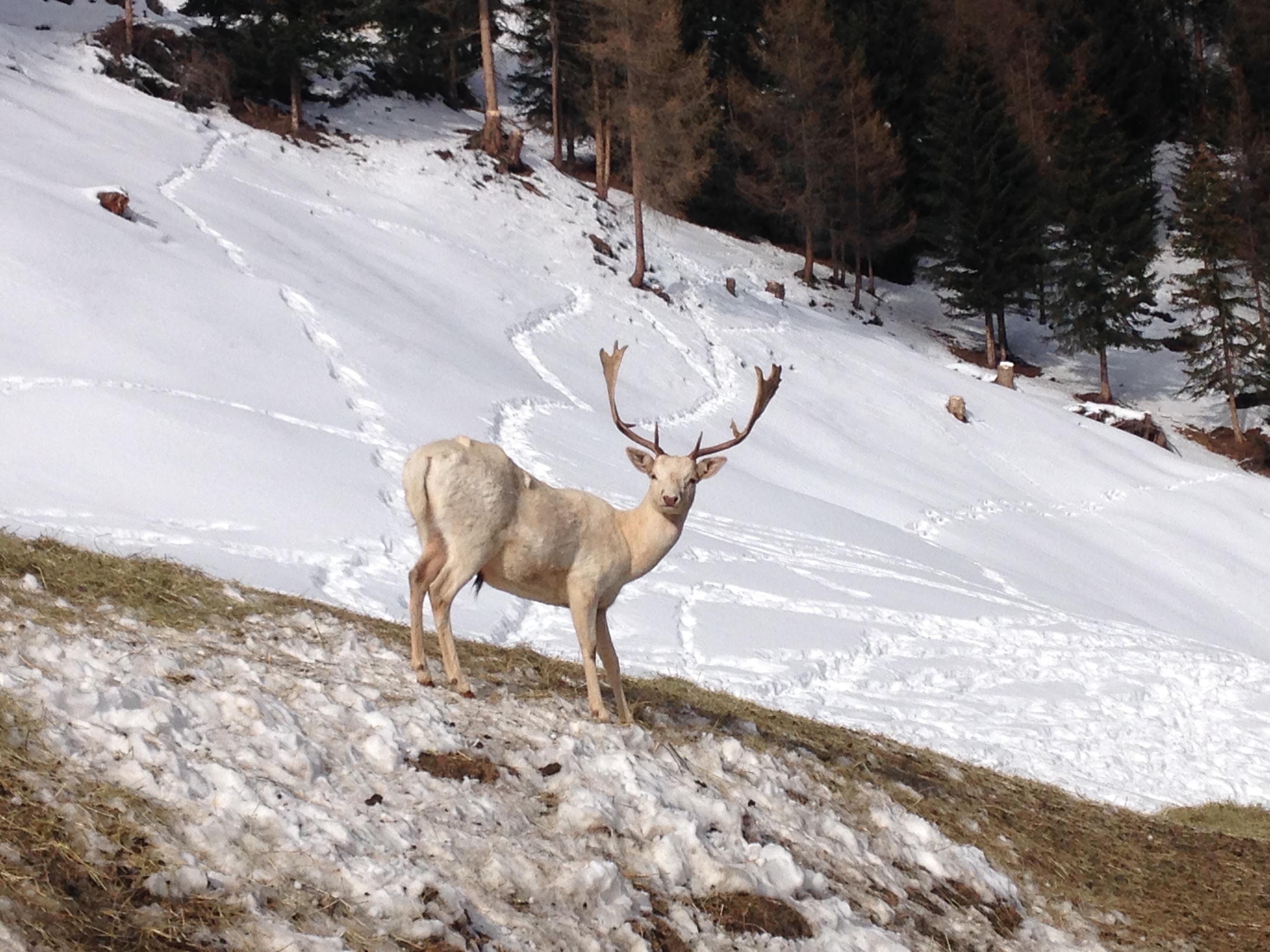 Weißer Hirsch bei der Wildtierfütterung im Winter