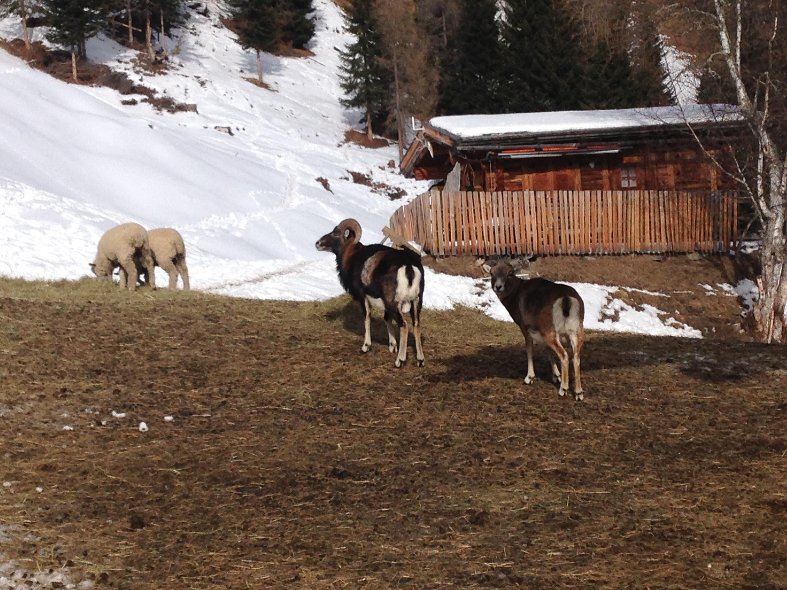 Mufflons und Schafe im Tiroler Oberland bei der Wildtierfütterung