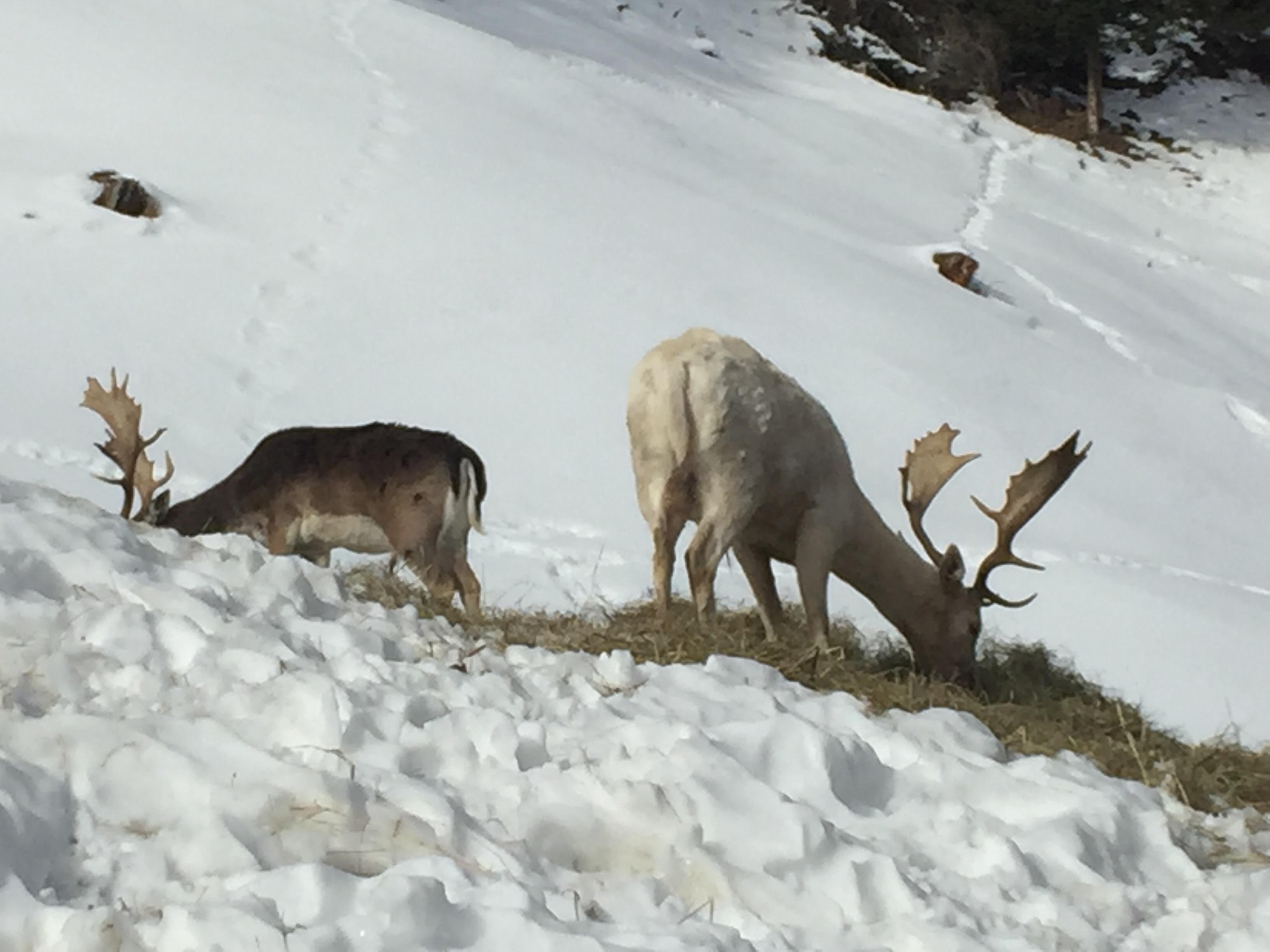 Hirsche bei der Wildtierfütterung