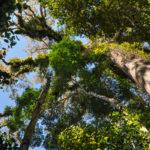 Urwaldriese in Ecuador: Ein Baum, der zu Tränen rührt