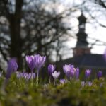 Auf zum Krokusblütenfest: Lila satt in Husum