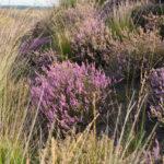 Grenzland Emsland: Heideblüte geht auch ohne Schnucken