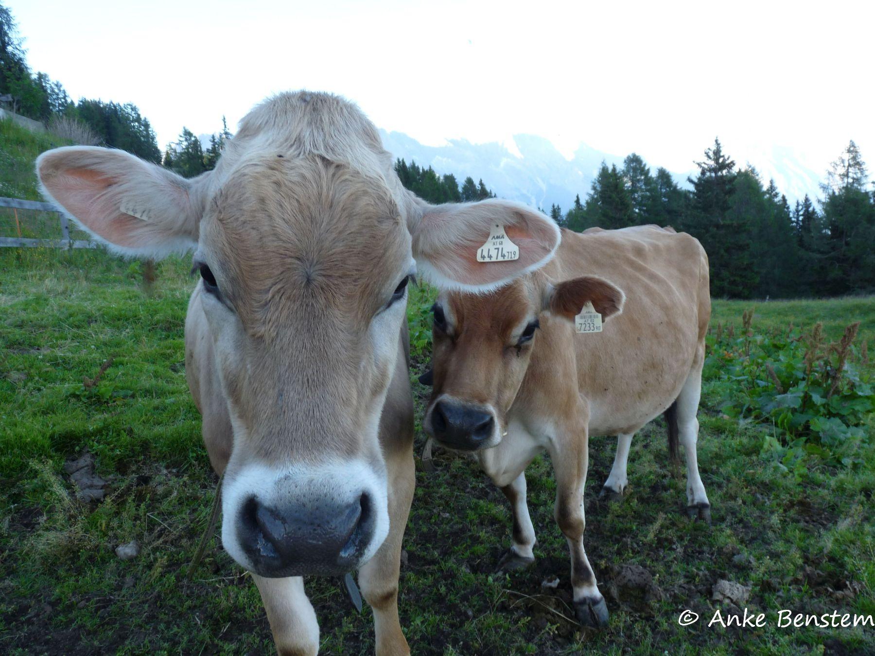 Zwischen Kühen schlummern -