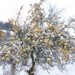 Schneeäpfel & Apfelschnee (+Rezept)