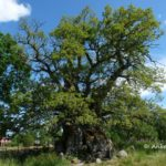 Kvilleken: Schwedens älteste Eiche