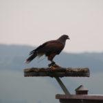 Traum-Erlebnis auf der Burgenstraße: Einmal Falknerin sein